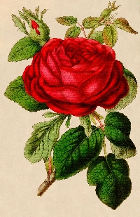 Vintage Skinny Card w/ a Red Rose