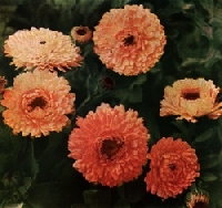 October Flower of the Month  Calendula (Marigold)